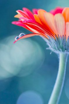 ✿ flower ✿ #plants #flowers #bokeh photography Gerbera Daisy by Amanda Roberts