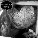 Rule of thumb is to provide a nesting box for every hens. Welcome to Nesting Box Wars! Raising Backyard Chickens, Keeping Chickens, Backyard Farming, Chicken Coup, Chicken Lady, Chicken Eggs, Birds And The Bees, Hens And Chicks, Farm Gardens