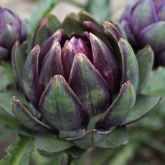 Artichoke, purple globe.  Will have to try this, it's so beautiful.  Needs a lot of space.