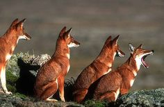 The Ethiopian wolf resembles the coyote having long legs and a narrow pointed muzzle. The largest population is found in the Bale Mountains in southern Ethiopia. (Born Free Photos)