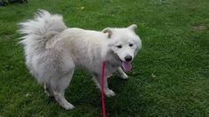 Check out Nakita's profile on AllPaws.com and help him get adopted! Nakita is an adorable Dog that needs a new home. https://www.allpaws.com/adopt-a-dog/samoyed/1680795?social_ref=pinterest