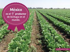México es el 9° productor de lechuga en el mundo. SAGARPA SAGARPAMX  #SomosProductores