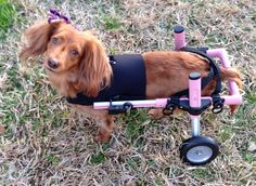 Walkin' Wheels Mini Dog Wheelchair - Front Vest for Dachshunds Dachshund Dog, Dachshunds, Diy Dog Wheelchair, Paralyzed Dog, Teach Dog Tricks, Disabled Dog, Puppy Images, Mini Dogs, Weenie Dogs