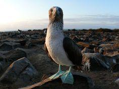 Blue-Footed Booby    Photograph by Daniel Gautreau, My Shot    Galápagos, Ecuador