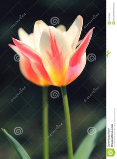 Sunlit Soft Focus Pink And White Marilyn Tulip Flower Heads - Download From Over 36 Million High Quality Stock Photos, Images, Vectors. Sign up for FREE today. Image: 41391855