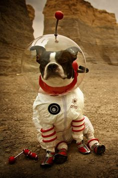 Boston Terrier by Dustin Weant: My Daisy's trainer years ago said that Bostons were aliens...here's the proof!!!