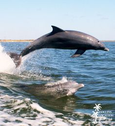#Dolphins play off the #beaches of St. George Island, Florida.  Dolphin sightings are very common here!
