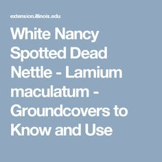 White Nancy Spotted Dead Nettle - Lamium maculatum - Groundcovers to Know and Use