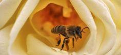 Un 3% de la población es alérgica al veneno de avispas y abejas, con 20 muertos al año. http://www.farmaciafrancesa.com