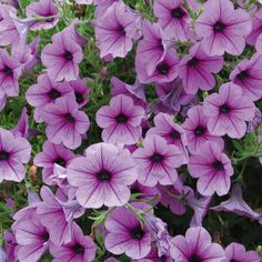 Petunia 'Surfinia® Rose Vein' - Hanging Basket Plants - Van Meuwen