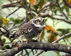 Spotted Owlet by sumank Owl Species, Pet Birds, Owls, Animals, Brave, Wisdom, Nature, Barn Owls, Animaux