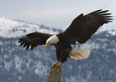 perched bald eagle | When I was growing up there were no Mexican Eagles in our area, now I ...