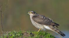 Atmaca  Accipiter nisus  Eurasian sparrowhawk by MuratAcuner via http://ift.tt/1RI2ksD