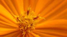 キバナコスモス - キバナコスモス(黄花コスモス、学名:Cosmos sulphureus)は、キク科コスモス属の多年草または一年草[1]。コスモスの名を冠するが、オオハルシャギクとは同属別種にあたり互いを交配する事は出来ない。
