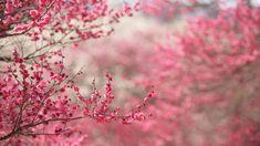 Sakura Wallpaper, Flowers Wallpaper, Tree Wallpaper, Cherry Blossom Wallpaper, Pink Cherry Blossom Tree, Blossom Trees, Pink Nature, Flowers Nature, Nature Water