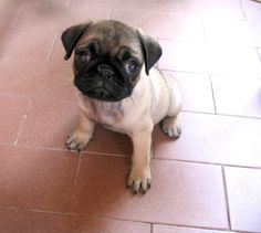pug--the cutest ugly dog ever!