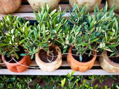 How to plant an olive tree?- How to plant an olive tree? House Plans Mansion, Craftsman House Plans, Dream House Plans, Planter Olivier, Olivier En Pot, Comment Planter, Olive Tree, Plantation, Succulents