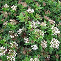 24 Best Spiraea Images Plants Garden Flowers