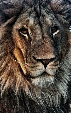 Michal Prasek took this awesome photo that has animal, lion, mammal, wildlife in it Mammals, Lions, Wildlife, Lion Photography, Modern Paintings, To Draw, Lion