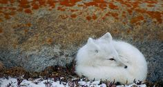 The arctic fox (Vulpes lagopus, formerly known as Alopex lagopus), also known as the white fox, polar fox or snow fox, is a small fox native to Arctic regions of the Northern Hemisphere and is common throughout the Arctic tundra. Wildlife Wallpaper, Animal Wallpaper, Desktop Wallpapers, Arctic Tundra, Arctic Fox, Beautiful Creatures, Animals Beautiful, Cute Animals, Wild Animals