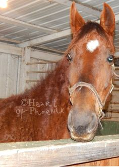 W VA She is a registered, Saddlebred mare (papers coming soon). Ellie is 15.3HH and is 7 years old. She is gaited and well trained for a saddleseat rider. She is currently rehabilitating and her fee will be $400.