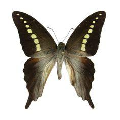 Graphium Codrus