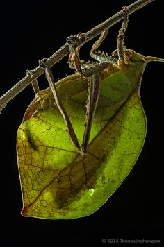Leaf Mimicking Katydid - Belize