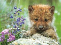 Wolf Pup fanpop