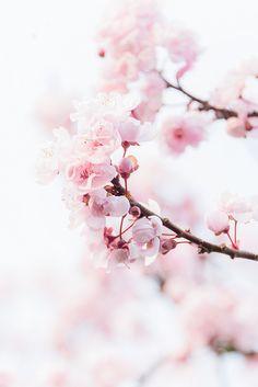 18 Best Cherry Blossom Wallpaper Images Cherry Blossom Cherry