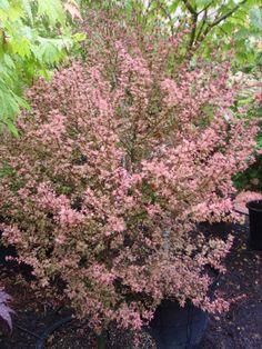 Acer palmatum 'Abigail Rose' (from Amazingmaple)