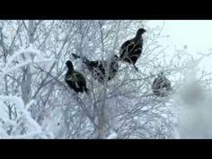 Tarinoita metsästä : metso ja teeri - YouTube Sounds Of Birds, Science And Nature, Environment, Earth, Songs, Natural, Videos, Youtube, Science And Nature Books