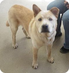 Menands, NY - Chow Chow Mix. Meet Snuggles, a dog for adoption. http://www.adoptapet.com/pet/15757597-menands-new-york-chow-chow-mix