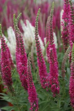 Veronica spicata (Red Fox)