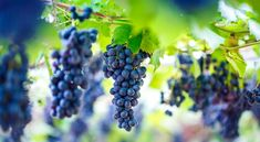 New Pictures, Royalty Free Photos, Red Wine, Close Up, Create Yourself, Vines, Photo Editing, Fruit, Editing Photos