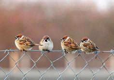 Photo 4 birds by Marzena Cybulska on Beautiful Horses, Beautiful Birds, Animals And Pets, Cute Animals, Sparrow Bird, Australian Birds, Rare Birds, Bird Artwork, Tier Fotos