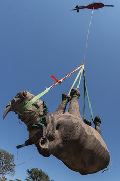 It's a tricky, expensive and often very dangerous affair to safely relocate a rhino. But conservationists in South Africa have come up with a slightly awkward and highly effective way of moving the animals in order to protect them from poaching threats.