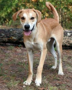 Gambit/Saluki Greyhound / Labrador Retriever/Mixed::Male::Young::Large  /Unconditional Love Pet Rescue | 13 Stoppel Road, Eureka Springs, AR 72632  Contact Us:Phone: (870) 577-3744 | Email:diane@ulpr.org