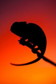 Chameleon silhouette by Juan Antonio Guerrero
