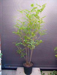 シマトネリコ Fingers, Green, Plants, Image, House, Haus, Plant, Home, Planting