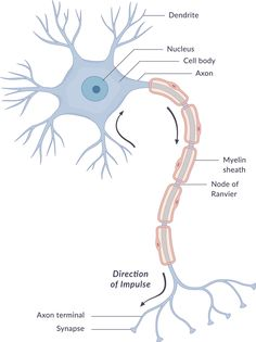 The nervous system works through an interconnected network of billions of neurons. These neurons transmit information in the form of nerve impulses, across the nervous system and thus, coordinate the various functions of the body. Brain Anatomy, Human Anatomy And Physiology, Nervous System, Study Flashcards, Occupational Therapy Assistant, Medicine Notes, Thesis Writing, Human Development, Nursing
