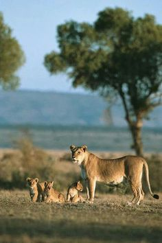 Lioness and Cubs, Serengeti, Tanzania