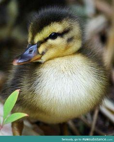Image detail for -Cute Animals : Cutest Baby Animals Top 10 Cutest Animals, Cute Baby Animals, Animals And Pets, Funny Animals, Animals Beautiful, Beautiful Birds, Beautiful Creatures, Duck And Ducklings, Baby Ducks