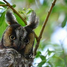 Gorgeous great photo..!!   Credit :  @jenonsafari -  Long-eared Owl. . #owl #owls #owllove
