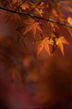 Fall Leaves, Kyoto, Japan by Ryota Shimizu
