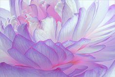 Purple Lotus Petals / lotus_Petal - Flower Macro - IMG_4695 by Bahman Farzad, via Flickr