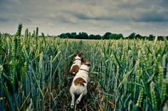Two dogs running through a field of wheat