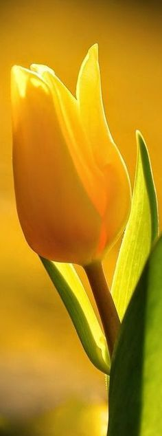 Hottest Absolutely Free bunga Tulip Ideas Extended are living the tulip ! Vegetable this specific extremely colorful jewel mobile phone . a beautiful Yellow Tulips, Tulips Flowers, All Flowers, Flowers Nature, Amazing Flowers, My Flower, Spring Flowers, Planting Flowers, Beautiful Flowers