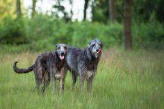 Gotta love a lanky deerhound