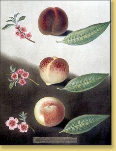 "George Brookshaw ""Pomona Britannica"" Hand-colored Aquatint Engravings circa 1812   Plate: 31 Peach/ Nectarine- Gallande"