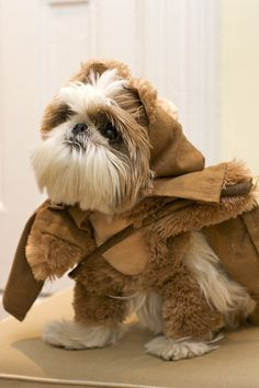 O, how brilliant: a Shih-Tzu... dressed as an Ewok!    Goodness this will be Papi's halloween costume. bahaha